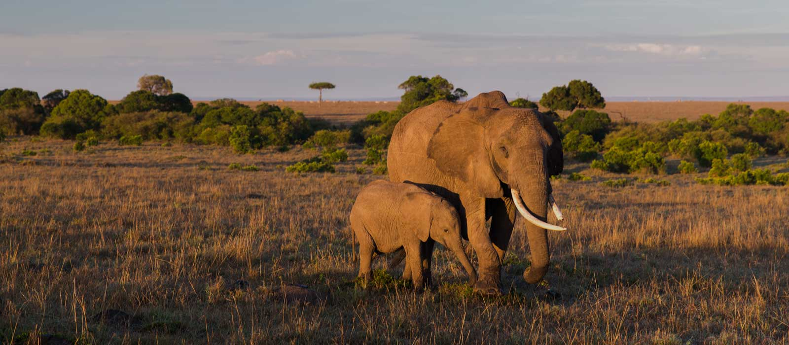 elephant with baby or calf in savannah at africa PTP8TQG